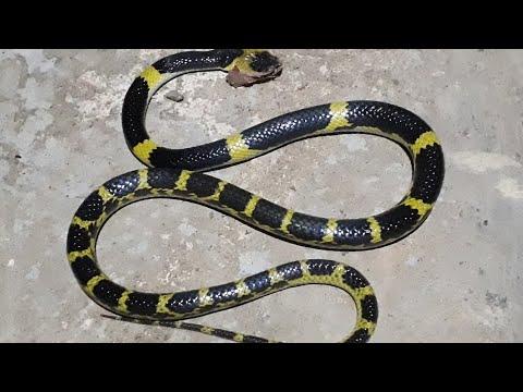 Rắn cạp nong - rắn mai gầm