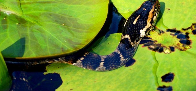 các loại rắn không độc ở việt nam