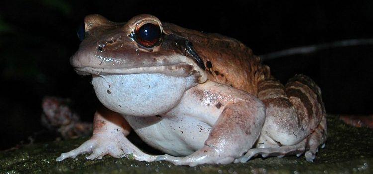 frog là gì