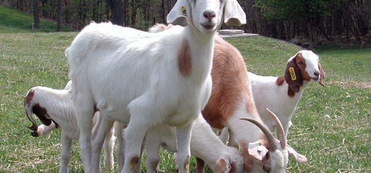 goat là gì