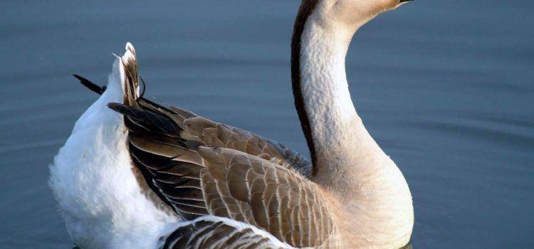 goose là gì