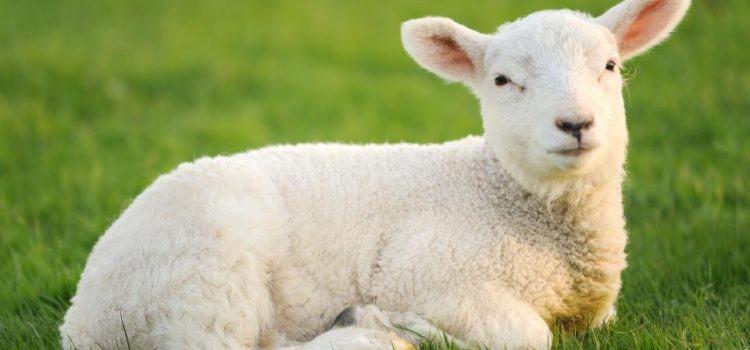 lamb là gì