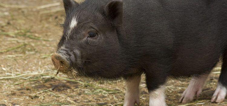 pig là gì