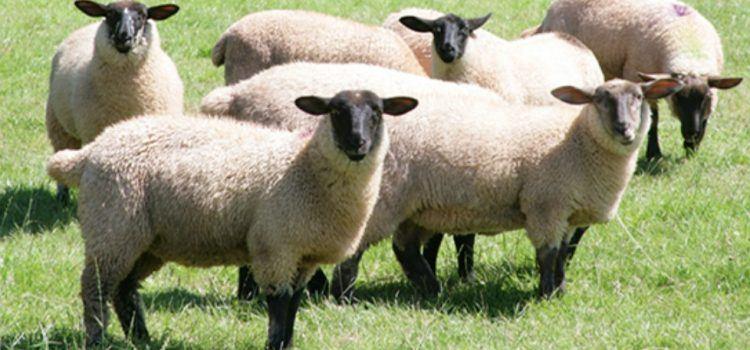 sheep là gì
