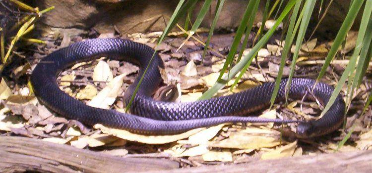 snake là gì