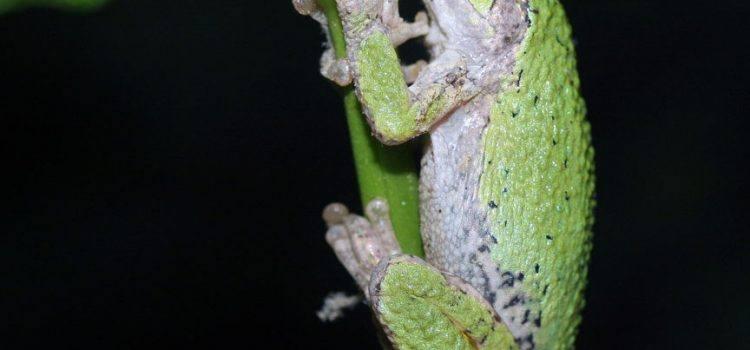 tree frog là gì